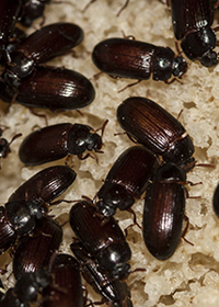Аргентинские жуки