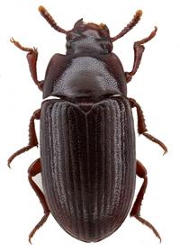 Внешний вид аргентинского жука