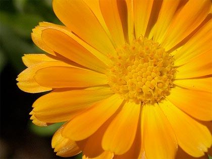 Полезная красота: календула лекарственная