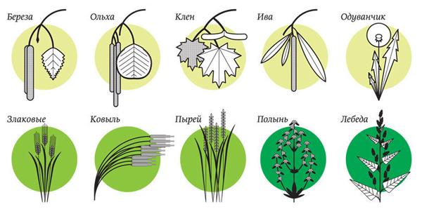 Основные растения-аллергены в России