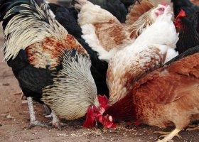 Новый вирус птичьего гриппа устойчив к «Тамифлю»?