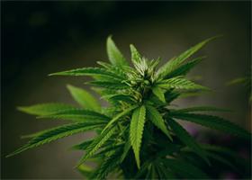 В Хорватии разрешили использовать марихуану в лечебных целях