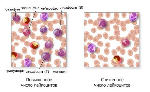 Показатель числа лейкоцитов в крови