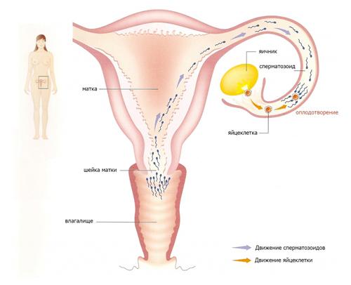 Момент оплодотворения яйцеклетки