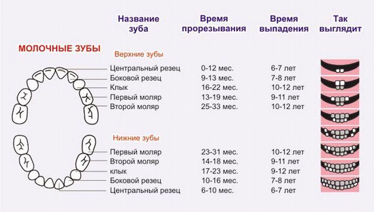 Сроки прорезывания молочных зубов у детей, таблица