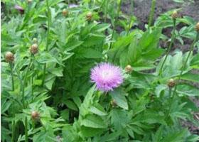 растение сафлоровидная левзея фото