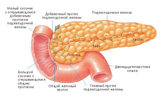 Строение поджелудочной железы