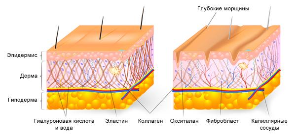 Молодая кожа с высоким содержанием гиалуроновой кислоты и кожа пожилого человека