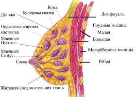 О строении молочной железы