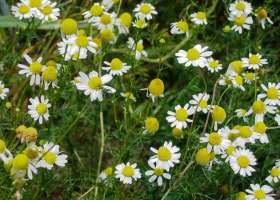Лечебные свойства и противопоказания ромашки