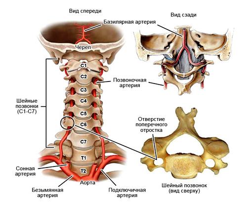 Вертебрально-базилярный бассейн артерий