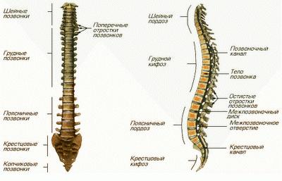 Анатомическое строение позвоночника