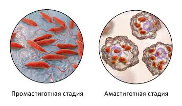 Стадии развития возбудителя лейшманиоза