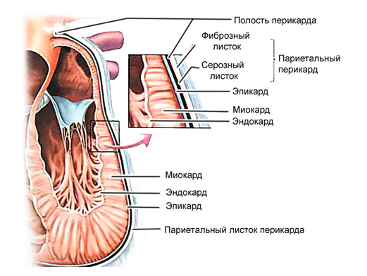 Строение миокарда