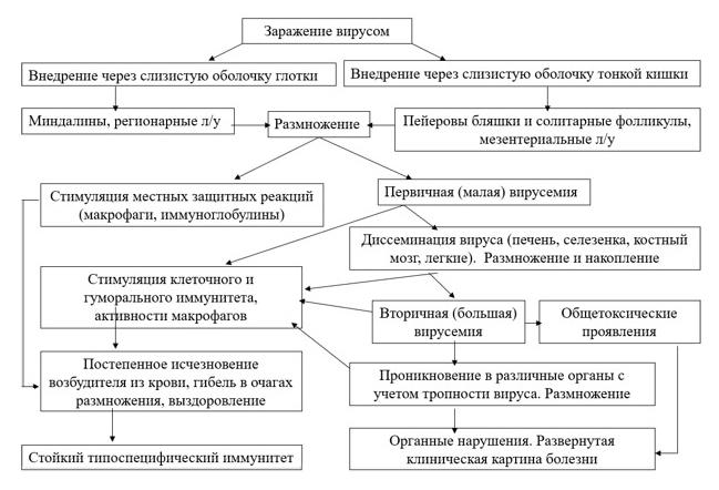 Стадии патогенеза вируса Коксаки