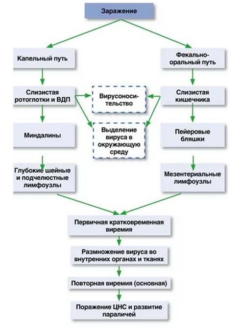 Схема патогенеза полиомиелита