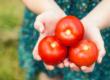 Потребление томатов положительно влияет на легкие