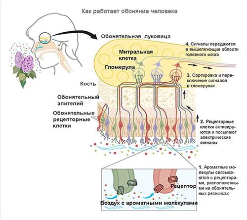 Аносмия, гипосмия (потеря обоняния)