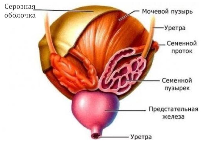 Везикулит (воспаление семенных пузырьков)